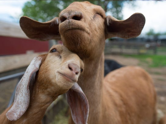 A baby goat snuggles up with it's mother at Lee Martinez
