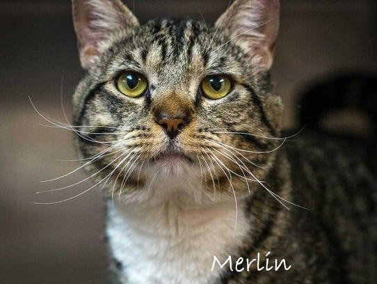 Merlin - Male domestic short hair, adult. Intake date:3/27/2018