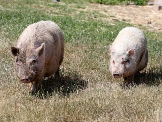 Pot-bellied pigs at Lollypop Farm, Humane Society of Greater Rochester.