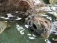 Okra, a juvenile Green sea turtle weighing 32 pounds,