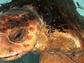 George, an adult male Loggerhead sea turtle weighing