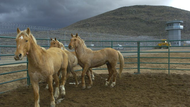 FILE - In this Feb. 2, 2006 file photo, wild horses walk  around a corral at the Warm Springs Correction Center in Carson City, Nev. The Nevada mustangs are part of a new recruiting class for an elite unit of Marines in California. A federal judge has agreed to let wild horse advocates argue at a hearing next month, Feb. 9, 2015,  he should block the latest roundup of Nevada mustangs in a case that highlights divisions among protection groups over the use of contraception to slow herd growth. (AP Photo/Reno Gazette-Journal. Lisa J. Tolda)  NO SALES; NEVADA APPEAL OUT; SOUTH RENO WEEKLY OUT