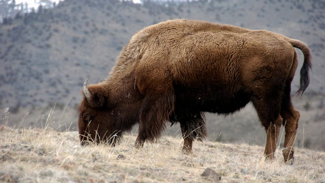A bison grazes in Yellowstone National Park near Gardiner, Mont., in this March 9, 2016 photo. The bison could soon become the national mammal of the United States.