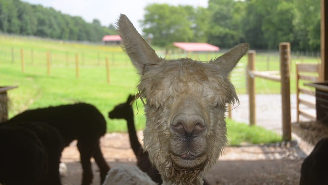 Long Hollow Suri Alpacas in Gallatin has 125 alpacas they raise, breed, show and sheer for wool.