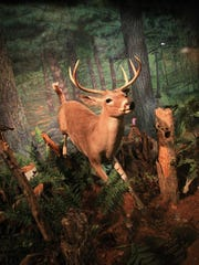 """A whitetail deer """"bounds"""" through the woods in a display at the UWSP Museum of Natural History."""