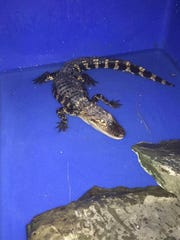 An alligator was caught in Whitney Point on Saturday. It will be housed at Animal Adventure Park.