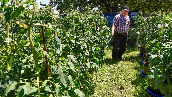 Douglas Yozamp waters his more than 150 tomato plants Tuesday, July 12, 2016. The plants cover his backyard in St. Cloud. Yozamp began growing tomatoes after the death of his father in 1995.