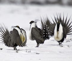 Judge blocks Trump administration energy plan that may threaten sage grouse in West