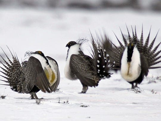 In this April 20, 2013 photo, male greater sage grouse