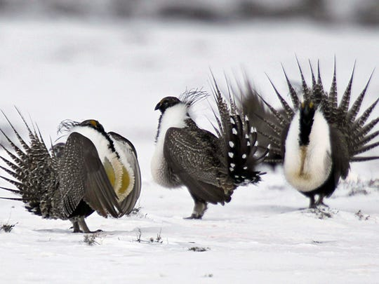 In this April 20, 2013 photo, male greater sage grouse perform mating rituals for a female grouse, not pictured, on a lake outside Walden, Colo. The Obama administration will release five possible plans Thursday, Dec. 29, 2016, for limiting mining on federal land in the West to protect the vulnerable greater sage grouse, but it isn't saying which it prefers.