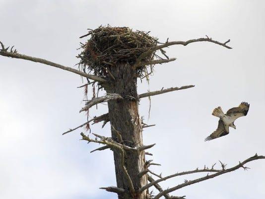 Tangled osprey situat_Davi