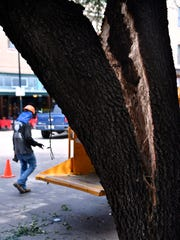 Framed by the split trunk of a live oak tree, Alex Ortega of Thornton's Tree Service walks to his company's chipper parked in front of the Abilene Reporter-News Monday. A newsprint delivery truck accidentally backed into the tree in the early-morning hours, splitting the trunk down the middle and necessitating it to be cut down.
