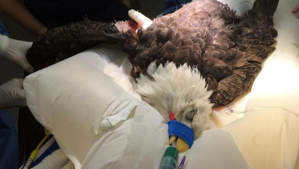 An injured bald eagle underwent an operation at Iowa State University's College of Veterinary Medicine in March to repair its fractured wing.
