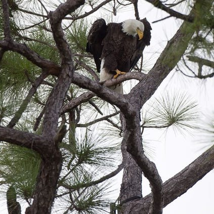 An eagle perches above its nest on Bayshore Road on Tuesday.