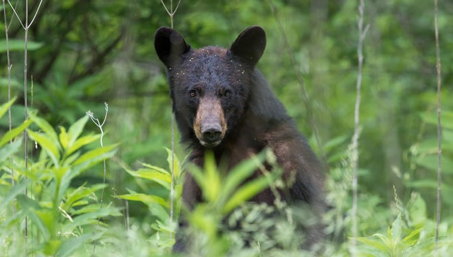 New Jersey approved resuming the bear hunt in 2003 after more than 30 years as a way to curb a growing population that was increasingly crossing paths with humans.
