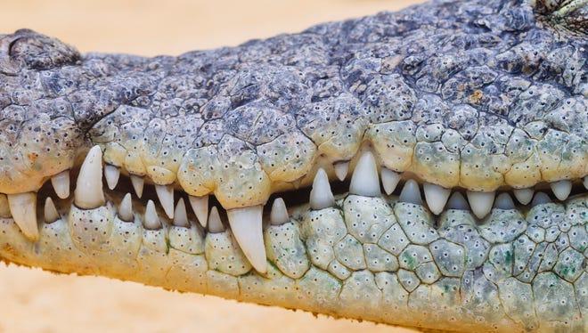 Close up of crocodile teeth.