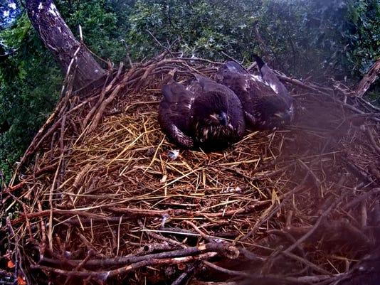 Two 10-week-old eaglets sit in their nest overlooking Lake Marburg on June 4.