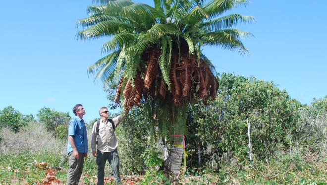 This file photo from July 2012 shows UOG Professor Thomas Marler, left, and Naval Facilities Engineering Command Marianas natural resources specialist James Cronin as they consider the logistics of removing a fadang tree from a construction site on Andersen Air Force Base.
