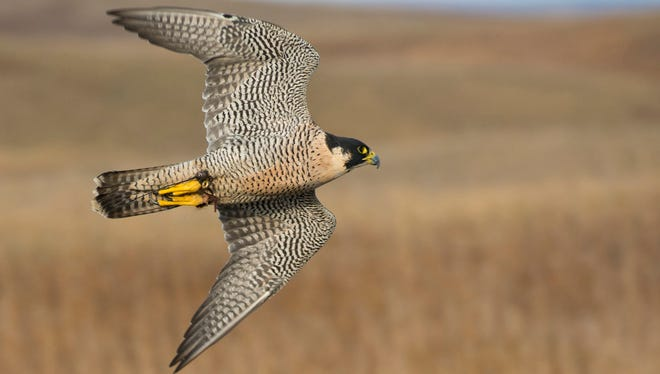 Peregrine falcons are regular visitors to downtown Binghamton.