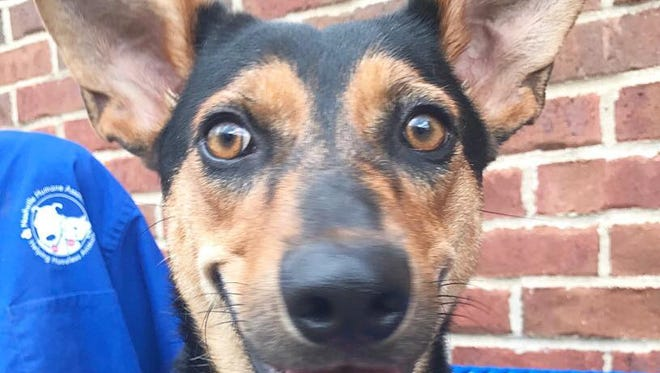 Googly Bear is a 3-year-old terrier/hound mix up for adoption or foster at Nashville Humane Association.