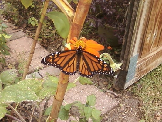 TLH Loc Kinsy Monarch Butterfly