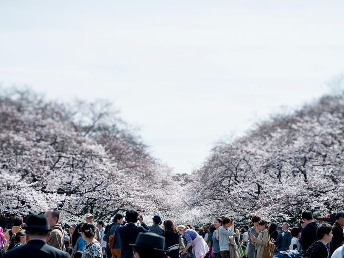 People visit Ueno Park to view the cherry blossoms in Tokyo.