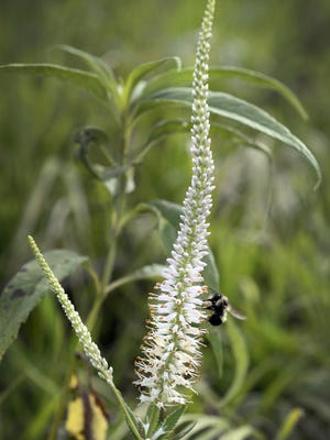 A bee pollinates a spike of Culver's root growing in a prairie.