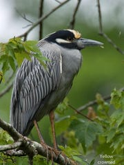 A yellow-crowned night heron is perched on a branch.