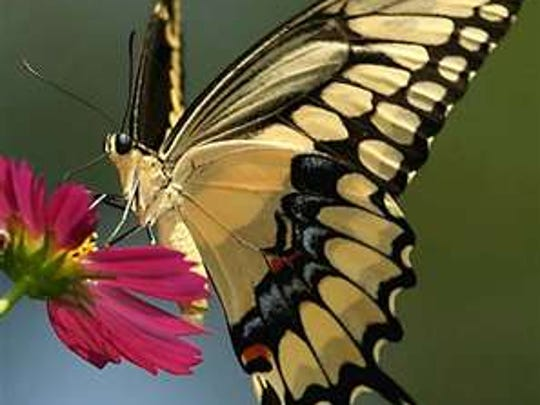 The underside of a giant swallowtail butterfly.