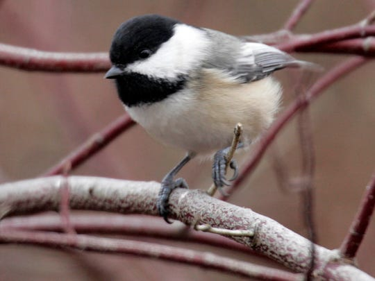 Look for the black cap and bib on the black-capped chickadee (this one was seen in Hartford).