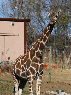 Uzuri, a giraffe at Blank Park Zoo, is pregnant.