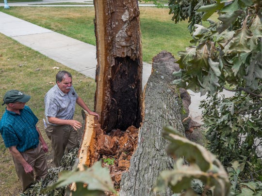 Frank Telewski, an MSU plant biology professor, stands near the White Oak tree toppled by a summer storm. The tree was one of 20 felled by a storm on July 8, 2016.