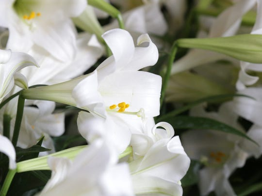 Easter lilies are popular as holiday decoration now and in the landscape.