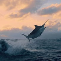 Sportfishing photographer Bill Boyce captures the energy of a leaping bill fish.on Australia's Great Barrier Reef.