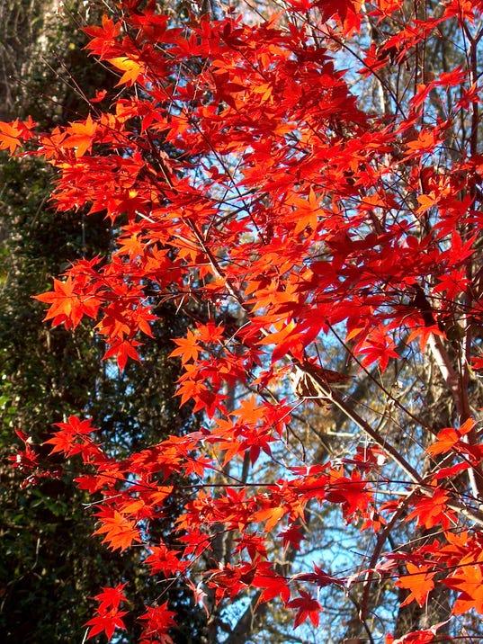 Japanese red maple.JPG
