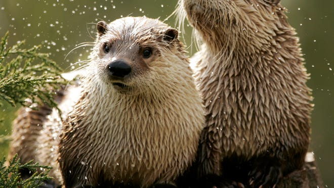 River otters sun themselves at a zoo in Massachusetts.