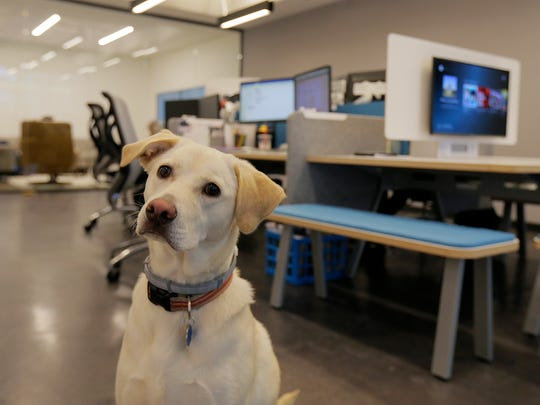 Nala, owned by Sarah Robbins, director of client services, and Frankie Corrado, financial life guide, spends the day at Blue Blaze Financial Advisors inside Bell Works, which is slowly becoming one of the hippest places to work in New Jersey, if not the country, in Holmdel, NJ Wednesday, June 22, 2017.