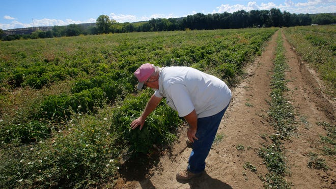 Sutherland Farms owner Allen Sutherland looks over his green chile field Tuesday at his farm  in Aztec.