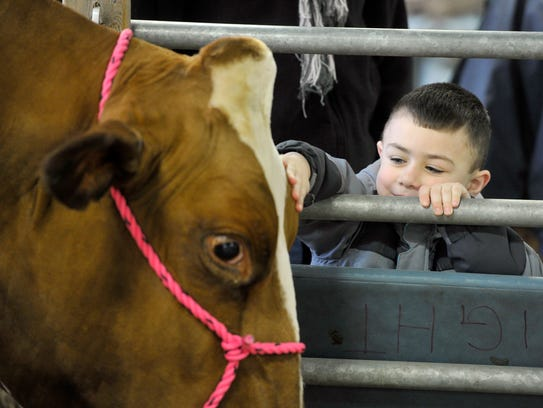 Kaiden Gerth, 4, of Reading, pets a cow he visited