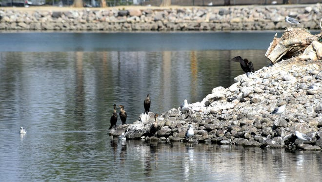 Cormorants on the island at Virginia Lake Tuesday, Sept. 9, 2014.