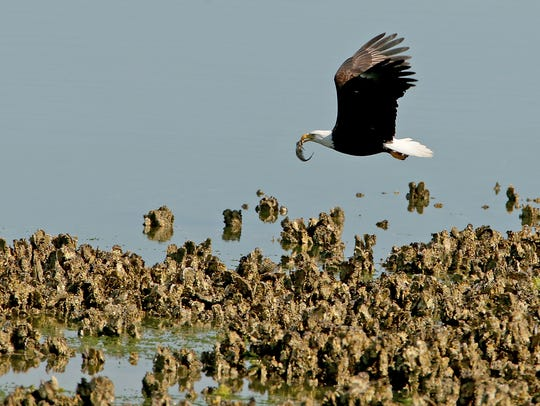 A bald eagle with a fish in its beak at Big Beef Creek