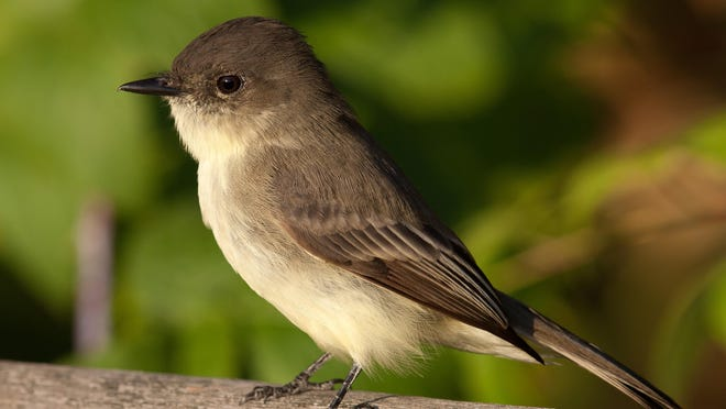 Although people dominate the world and the era we now live in — referred by some biologists as the Anthropocene or Age of People — other species constantly occupy our space and accompany us in our daily lives, like the Eastern Phoebe.