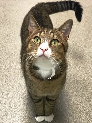 Tad Cooper is a cat waiting for a home at the Nashville Humane Association.