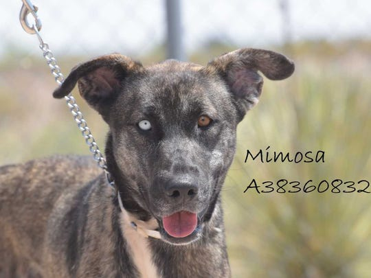 Mimosa - Female (spayed) shepherd mix, about 2 years old. Intake date: 4-19-2018
