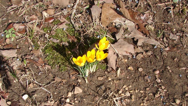 Baxter Bulletin reader Don MacDonald of the Hand Cover area sent this photo of his first flowers of the year. MacDonald said despite the leaf litter, small stones and other detritus of the early spring garden, these four determined yellow crocus decided to meet the sun today. Iwas glad to take their picture and will send it to friends in Illinois and Minnesota, who will not see another for months.