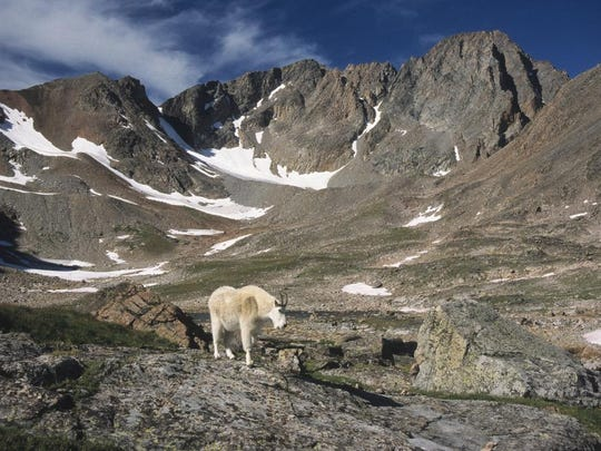 A mountain goat roams the Sky Top drainage below the south face of 12,799-foot Granite Peak.