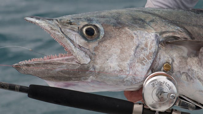 Kingfish are a popular spring time catch along Space Coast waters. CONTRIBUTED PHOTO BY TED LUND