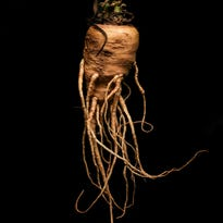 Root for parsnips, a tasty veggie that can't be beat
