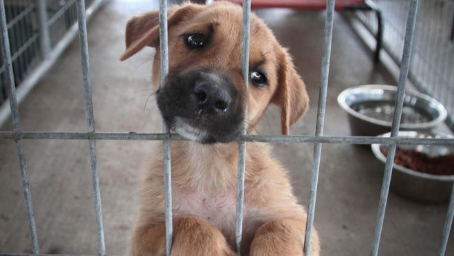 A puppy waits for adoption at the Ouachita Parish Animal Shelter in West Monroe.