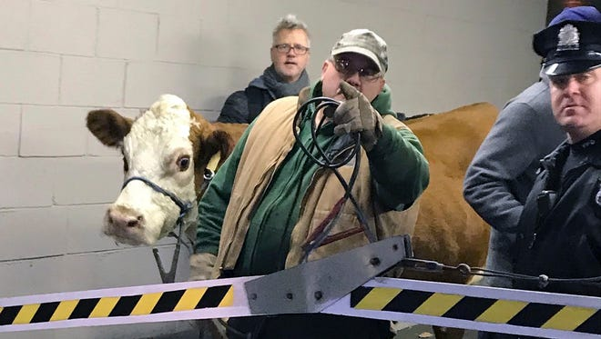 Stormy, the cow, is led out of a parking garage Thursday, Dec. 14, 2017, after its second escape from a Philadelphia church's live nativity scene. After the second escape, the church decided to use Stormy's understudy, a cow about half her size named Ginger.